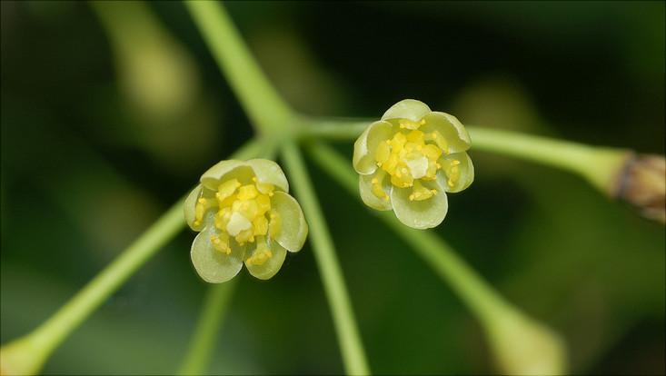 Bild einer Blüte von Cinnamomum insularimontanum