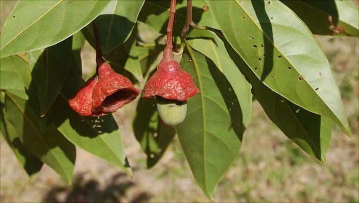 Bild eines Zweiges von Licaria bahiana mit Früchten