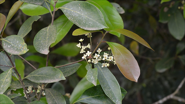 Bild eines Zweigs von Nectandra grandiflora mit Blüten