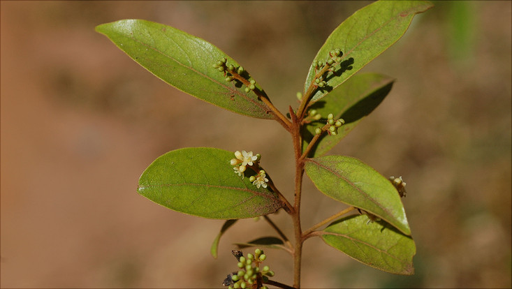 Bild eines blühenden Zweigs von Ocotea pulchella