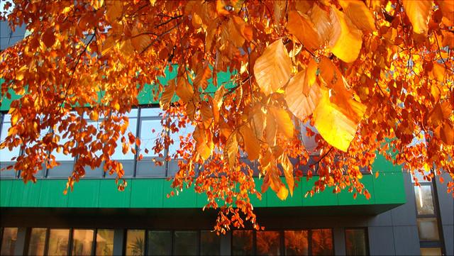 Leuchtende Herbstblätter vor dem Biozentrum Klein Flottbek