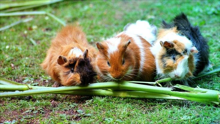 Drei Meerschweinchen beim Fressen