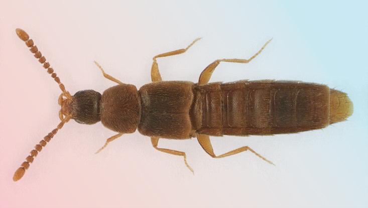 Kurzflügelkäferart Oxypoda nigrocincta