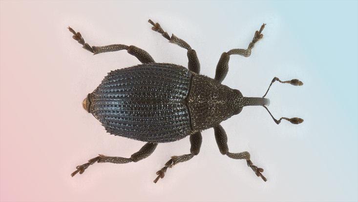 Rüsselkäferart Ceutorhynchus thomsoni