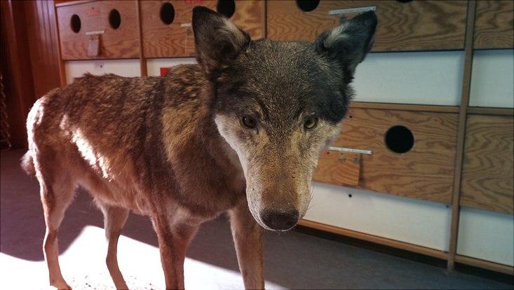 Ein präparierter Wolf