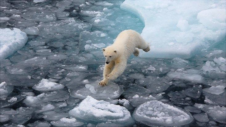 Eisbär springt von Scholle zu Scholle