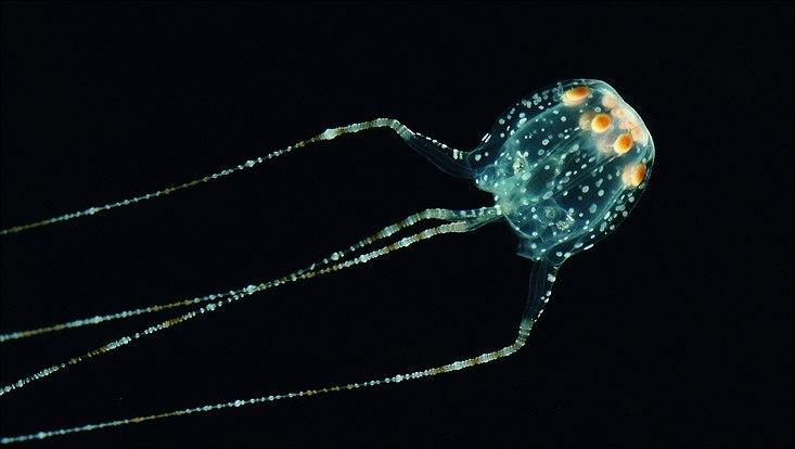 Qualle Cubomedusae Tripedaliidae Copula sivickisi