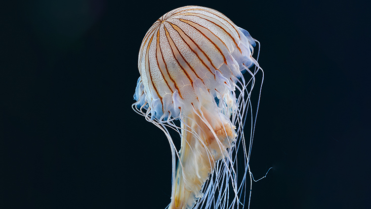Qualle Discomedusae Pelagiidae Chrysaora pacifica