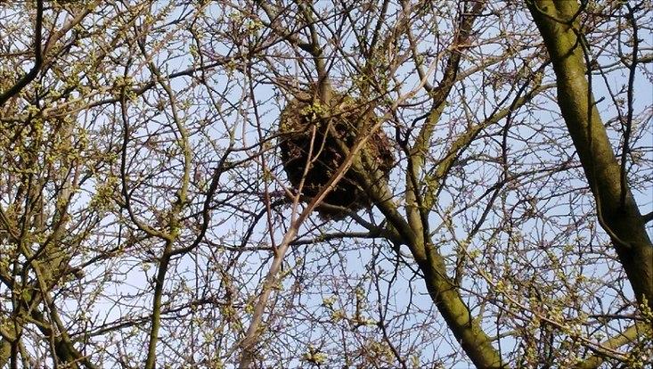 Nest der Asiatischen Hornisse in Hamburg