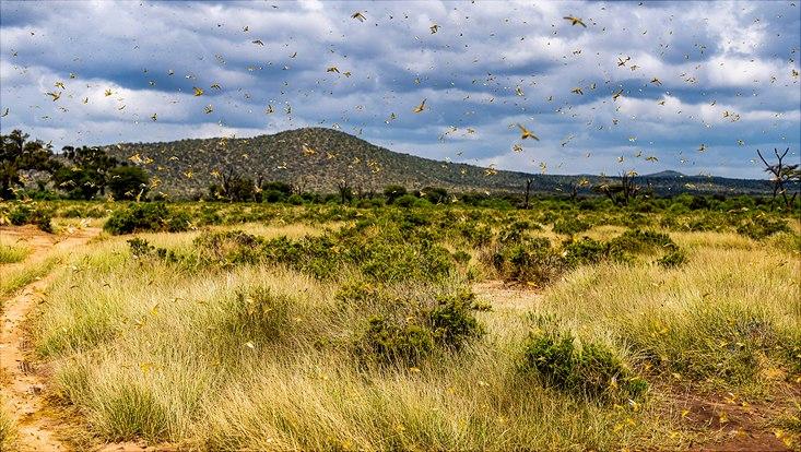 Heuschreckenplage im Samburu-Nationalreservat