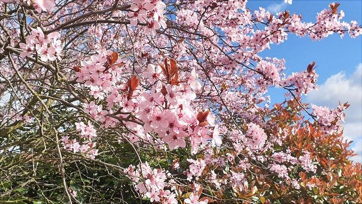 Blühender Kirschbaum vor blauem Himmel