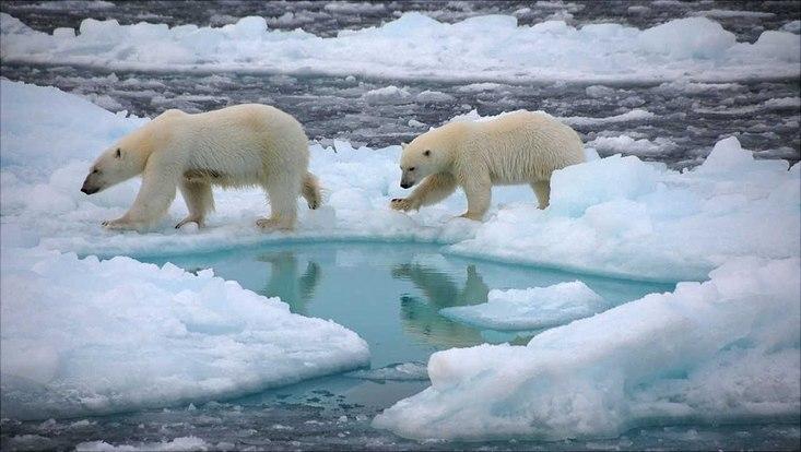 Eisbären wandern über das Meereis der Arktis.