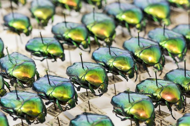 Käfer aus den naturkundlichen Sammlungen des CeNak.