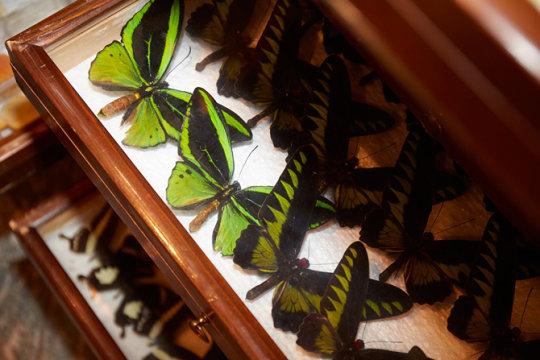 Schmetterlinge aus der Insektensammlung des Zoologischen Museums