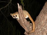 Der madagassische Lemur