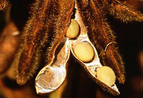 Reife Sojabohnen