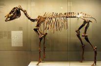 Skelett von Hippotherium primigenium