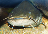 The catfish in Hamburg is an endangered species
