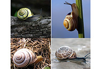 Banded snails