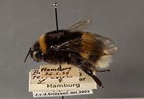 """""""Dunkle Erdhummel"""" (Bombus Terrestris) aus der historischen Insektensammlung"""