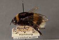 Buff-tailed bumblebee (Bombus terrestris) from the historical insect collection