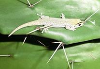 Taggecko auf einer Kaktusfeige