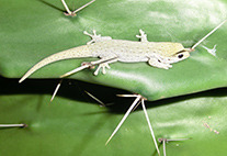 Diurnal gecko on a fig cactus