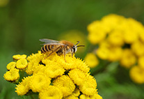 Wild bee on yellow flower