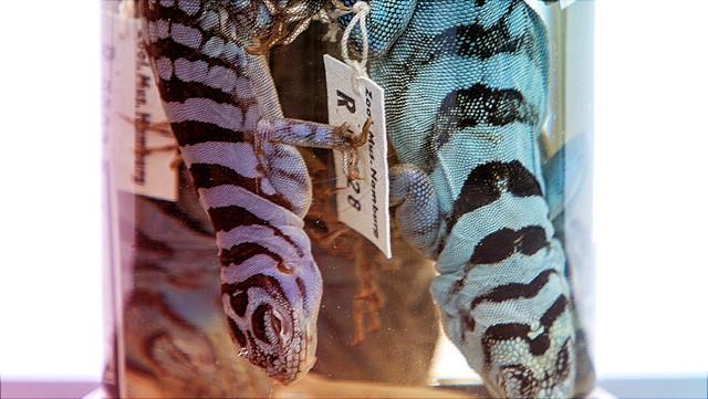 eingelegte Reptilien