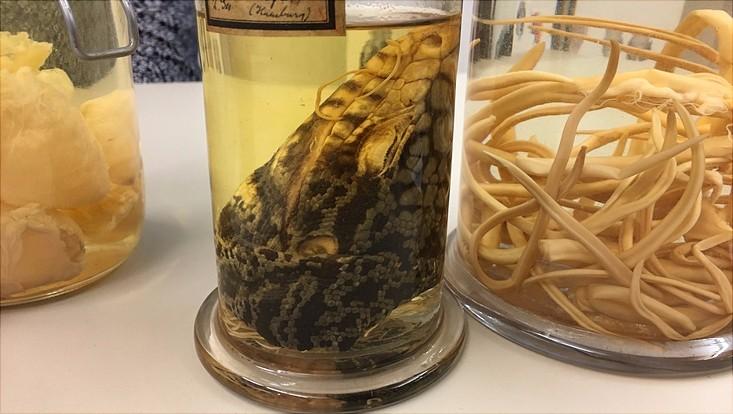 In Formaldehyd eingelegter Echsenkopf mit Würmern