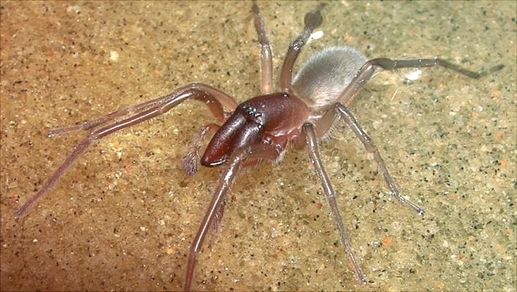 Eine männliche Spinne der Art Desis bobmarleyi.
