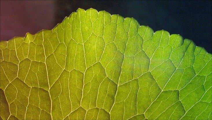 Grünes Blatt (Pflanze)