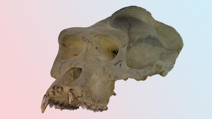 3D-Modell eines Gorilla-Schädels