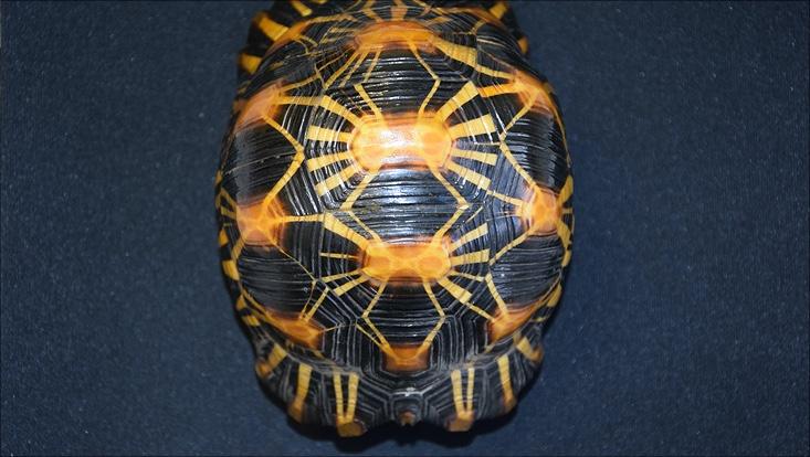 Strahlenschildkröte aus der herpetologischen Sammlung