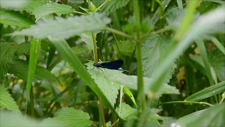 """Die Insektenspezialistinnen und -spezialisten sichteten zahlreiche Arten in der Park- und Grünanlage """"Obere Bille"""", darunter die Blauflügel-Prachtlibelle (Calopteryx virgo). Sie gilt in Hamburg als """"Vom Aussterben bedroht"""". Diese Libellenart ist eng"""