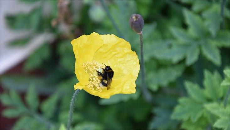 Klatschmohn und Schöllkraut wachsen in den Gärten der Steenkampsiedlung und locken Wildbienen an.  Das Totholz unterm Holunderstrauch entpuppt sich als natürlicher Insektennistplatz. Privatgärten nehmen in Städten einen beachtlichen Flächenanteil ein