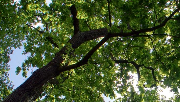 Blätterdach eines Baumes