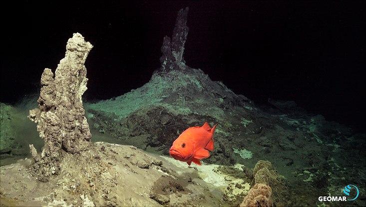 """Eines der Ziele der IceAGE 3 Expedition war es, die potenziellen hydrothermalen Quellen zu lokalisieren. Hier schwimmt ein Rotbarsch, Sebastes norvegicus (Ascanius, 1772) an den """"klaren Rauchern"""" vorbei, in ca. 650 Meter Wassertiefe. Die Größe des Ti"""
