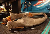 Blauwal-Unterkiefer