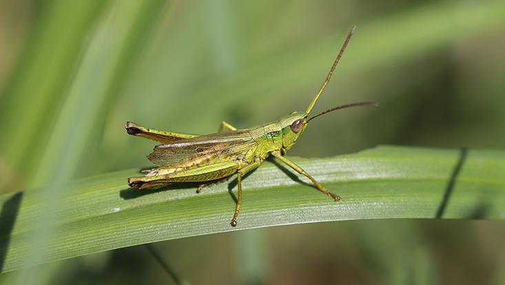 Eine grüne Heuschrecke sitzt auf einem Grashalm.