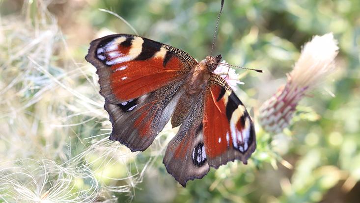 roter Schmetterling mit augenähnlichen Flecken auf den Flügeln