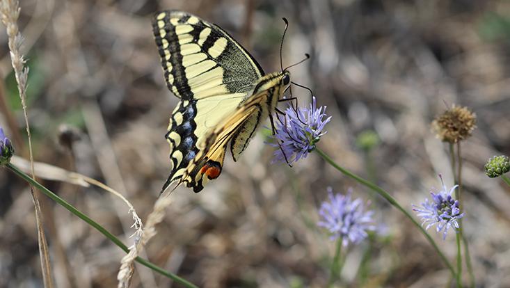 gelb-schwarz gemusterter Schmetterling auf Konblume