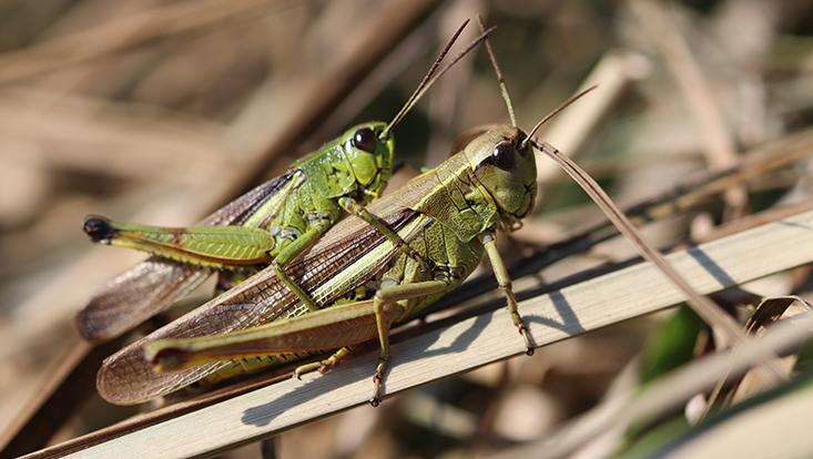 zwei grüne Heuschrecken