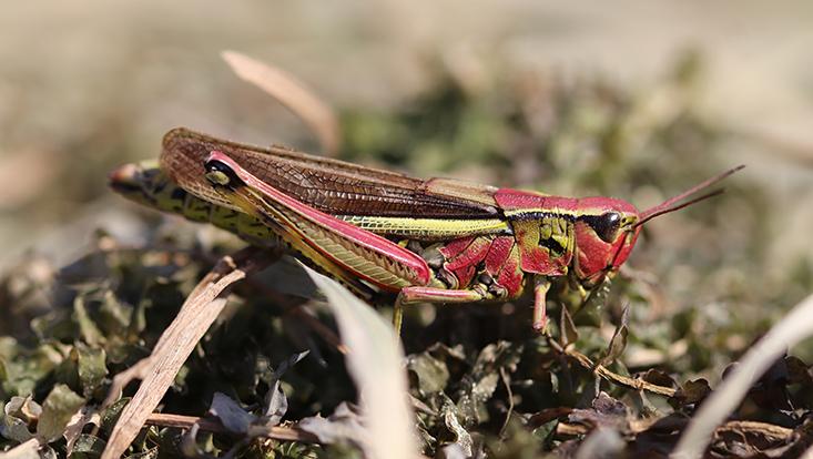 rot-grüne Heuschrecke