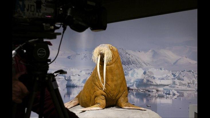 präpariertes Walross Antje mit neuem Hintergrund
