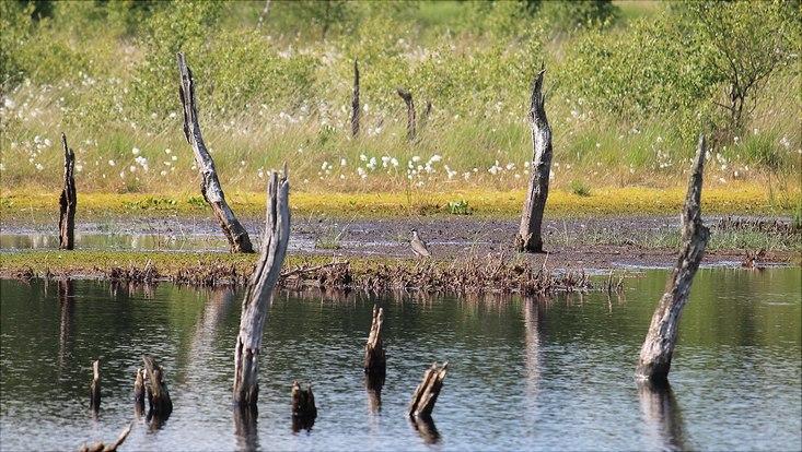 Tote Baumstümpfe in einem Moor, dahinter grünes Gebüsch