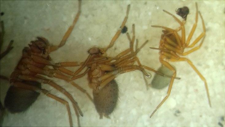 Drei Spinnen unter dem Mikroskop
