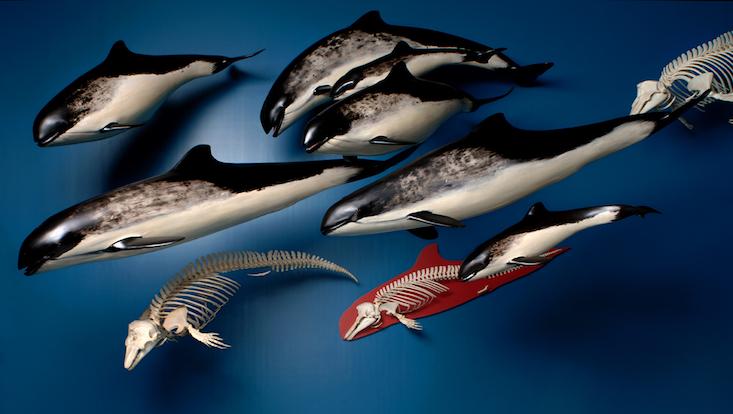 Schweinswale Ausstellung Zoologisches Museum