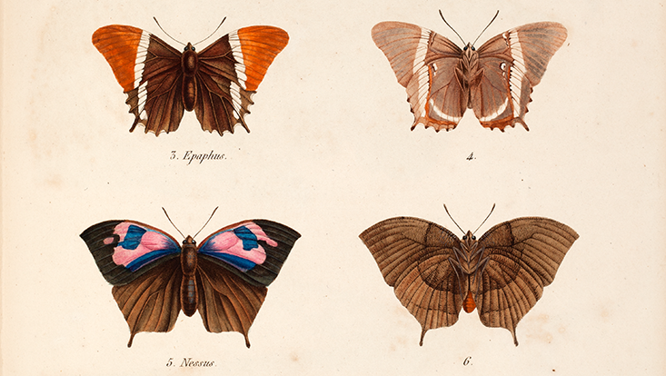 Schmetterlinge Humboldt