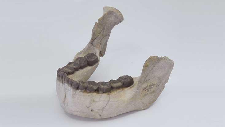 Unterkiefer eines Frühmenschen. Hellbrauner Kieferknochen, dunkelbraune Zähne, grauer Hintergrund